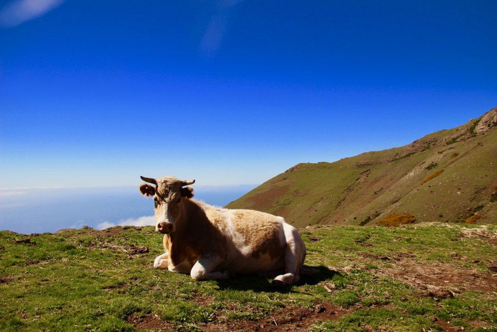 Madeira Bergkühe